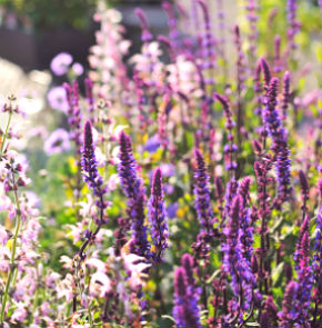 Salvias and other perennials