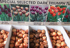 Loose tulip bulbs